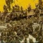 Pentru a scapa de politisti, niste contrabandisti din Turcia s-au folosit de albine